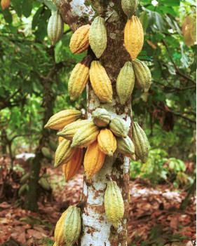 درخت کاکائو در برزیل