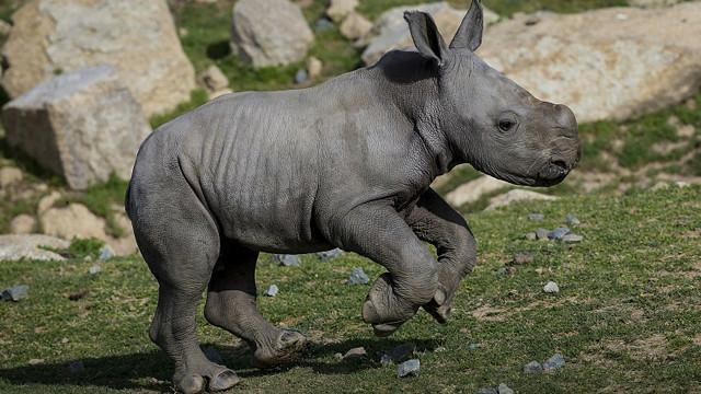 Las travesuras de un bebé rinoceronte - BBC Mundo - Video y Fotos