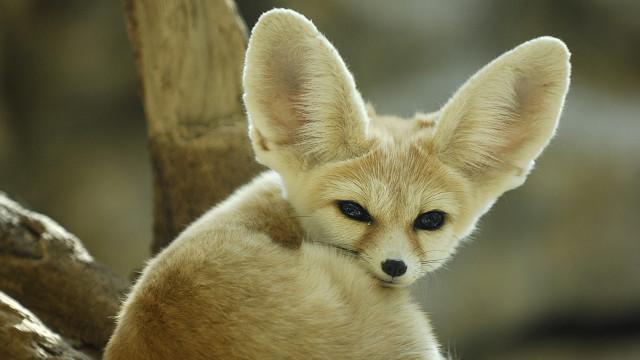 африканская лиса фото