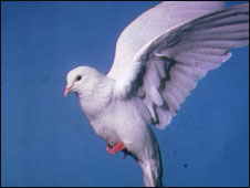 A white dove is a sign of peace in many countries