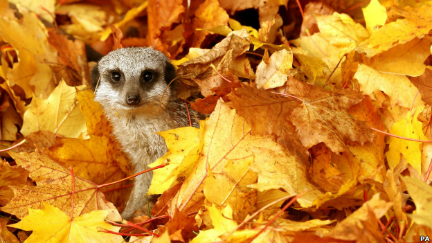 A meerkat plays amongst leaves in Stirling, Scotland