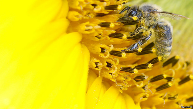 A bee collects nectar from a sunflower