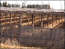 Ruộng nhân sâm do chủ người Hmong cai quản