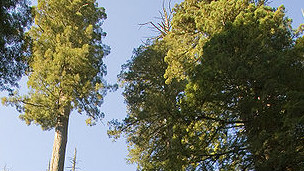 Sequoia sempervivens