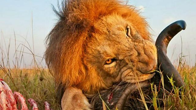 """BBC Mundo - Noticias - Una """"cámara escarabajo"""" entre los leones ..."""