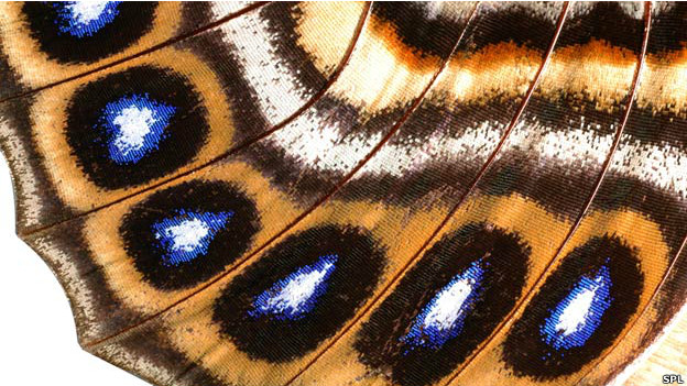 A macro photograph of a butterfly wing covered in scales.