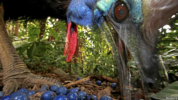 An endangered Southern cassowary feeds on fruit