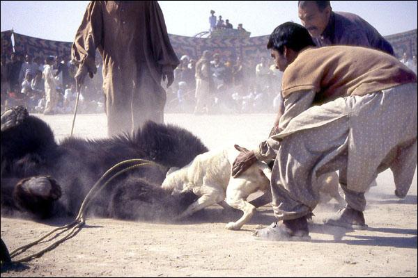 Cachorro sendo atiçado contra urso (Foto: WSPA)
