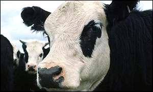 As vacas preferem Beethoven à banda Mud