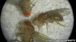 enfermedades de la mosca de la fruta