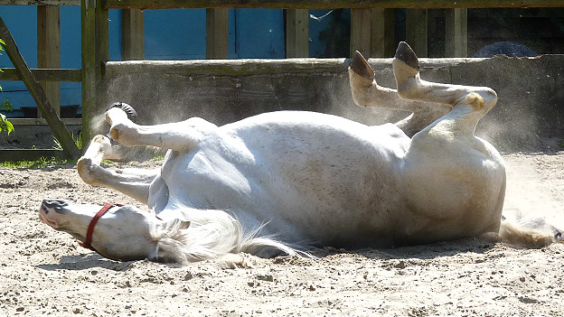 A white horse rolling on its back
