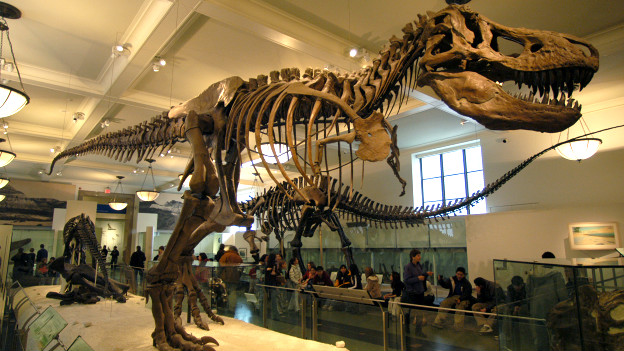 A Tyrannosaurus Rex skeleton in the American Museum of Natural History, NYC